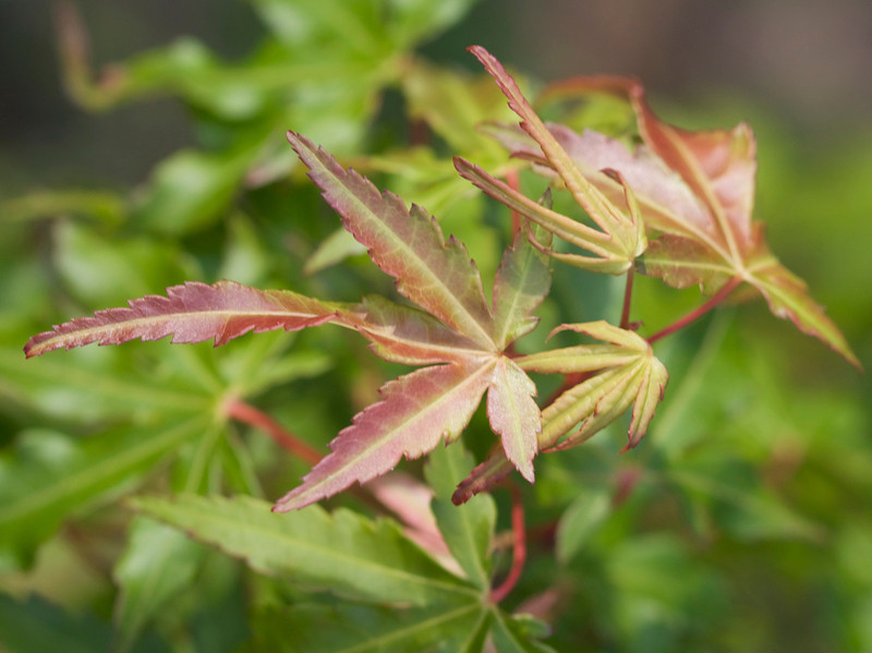 The new growth on one of our hundreds (thousands) of Maples