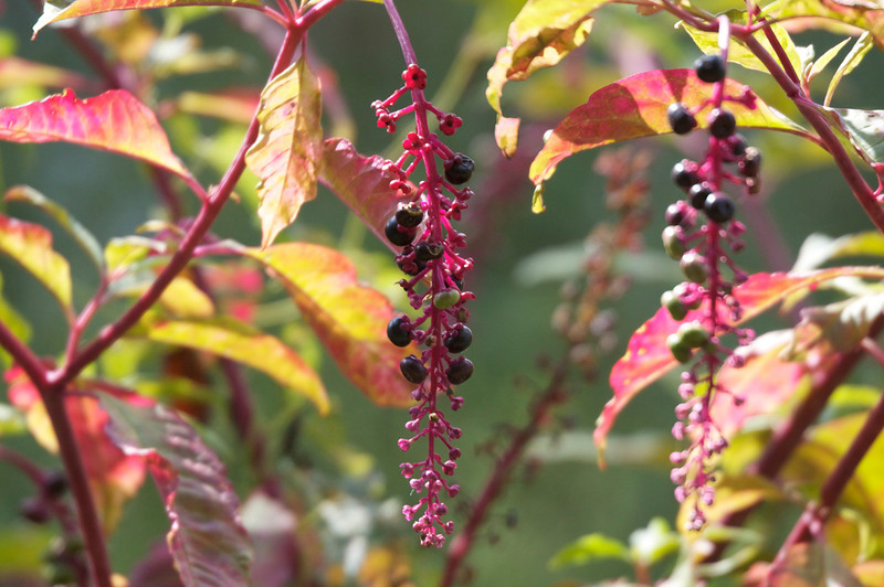 Pokeweed is beautiful in it's own special way