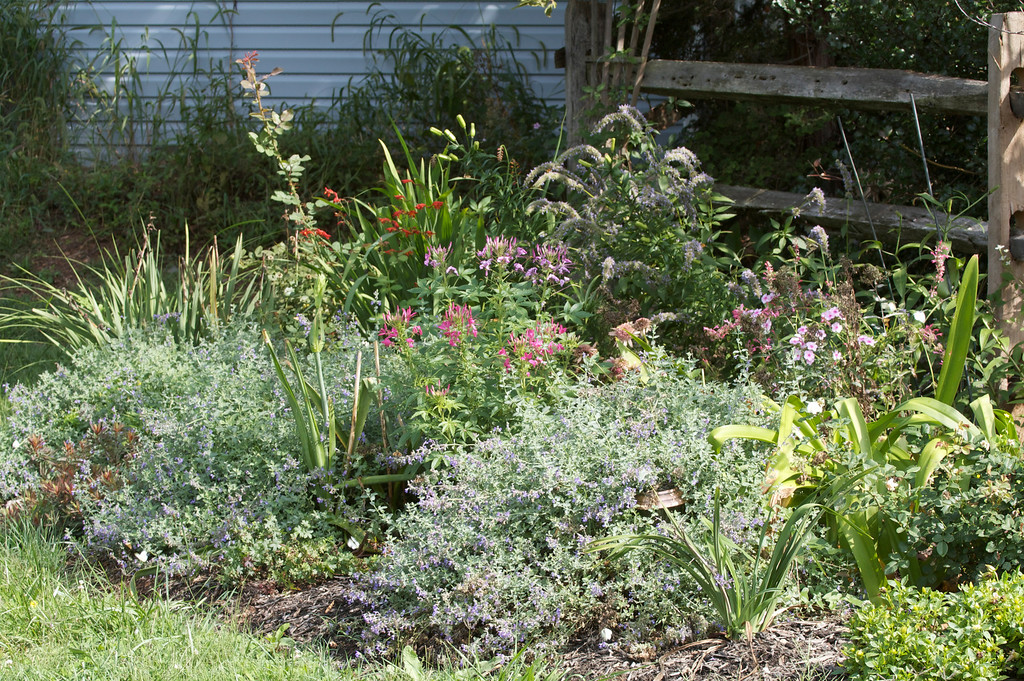 The rose garden -- love that crocosmia and cleome