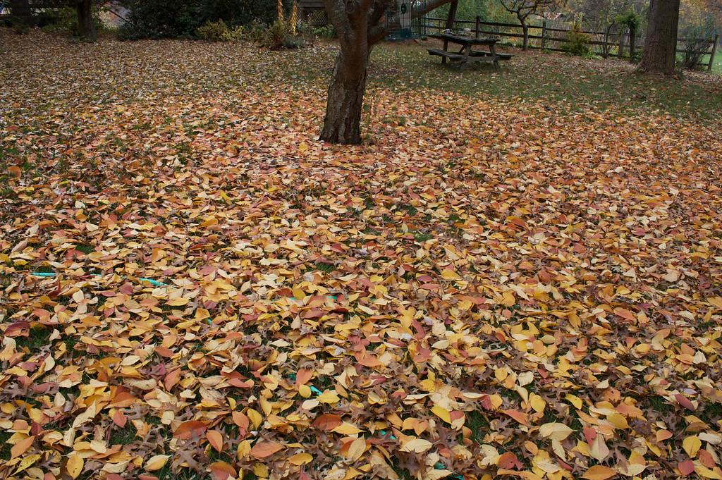 Kwanzan Cherry Leaves