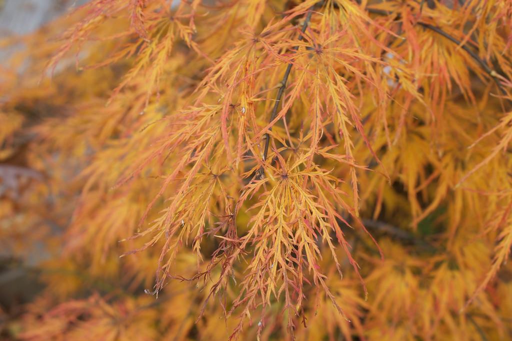 Japanese Maple 'Viridis'