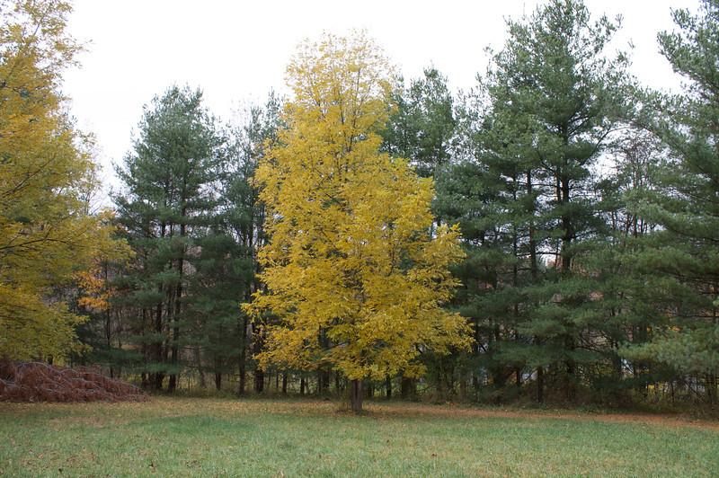 Our landscape specimen Pecan tree