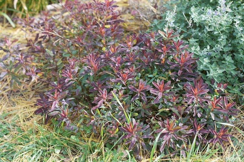 'Bonfire' Euphorbia polychroma (Cushion Spurge)