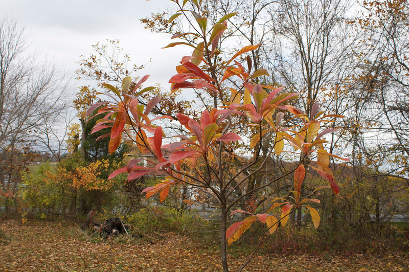 The Franlinia atamaha leaves are like candy