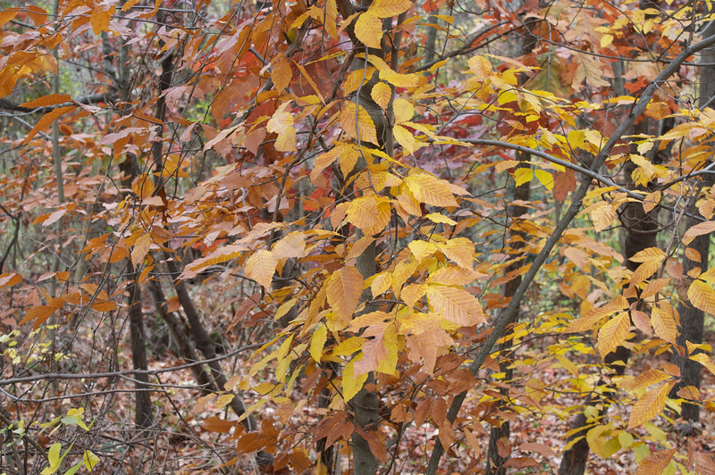 The perfect time for American Beech leaves