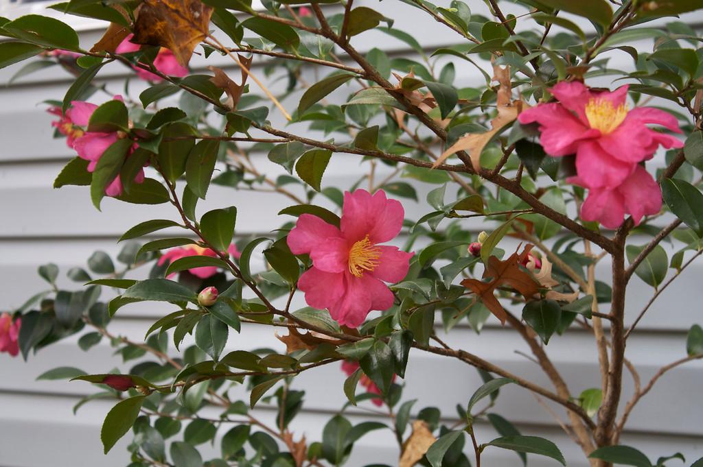 Camellia sansanqua