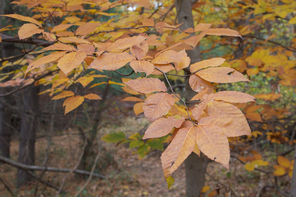 Beech leaves but no nuts yet