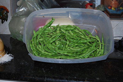 The first Green Bean harvest