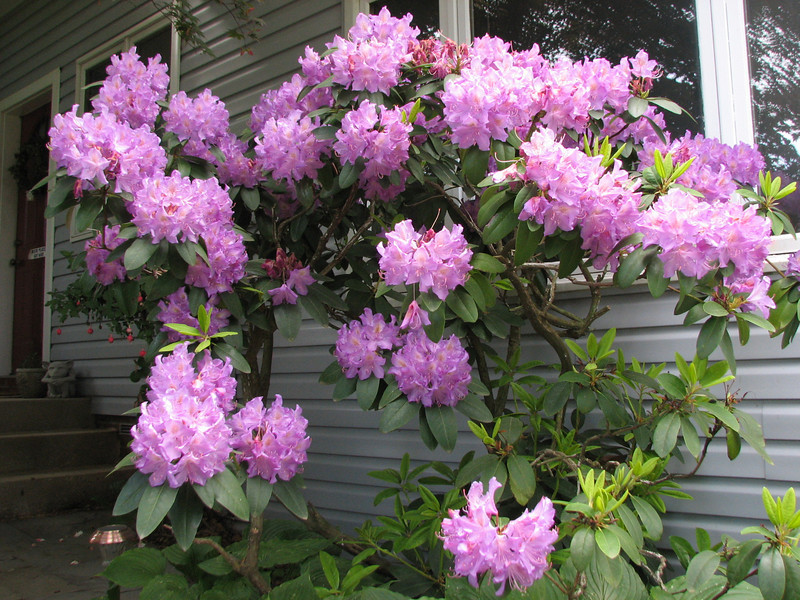 Rhodie in full glory