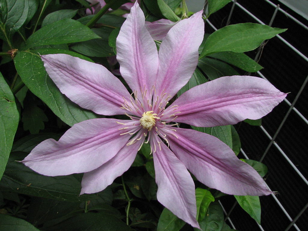 unknown but lovely clematis