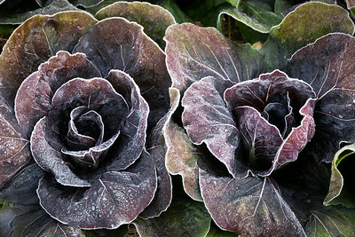 Frosted Radicchio