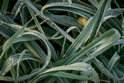 Frosted Leeks