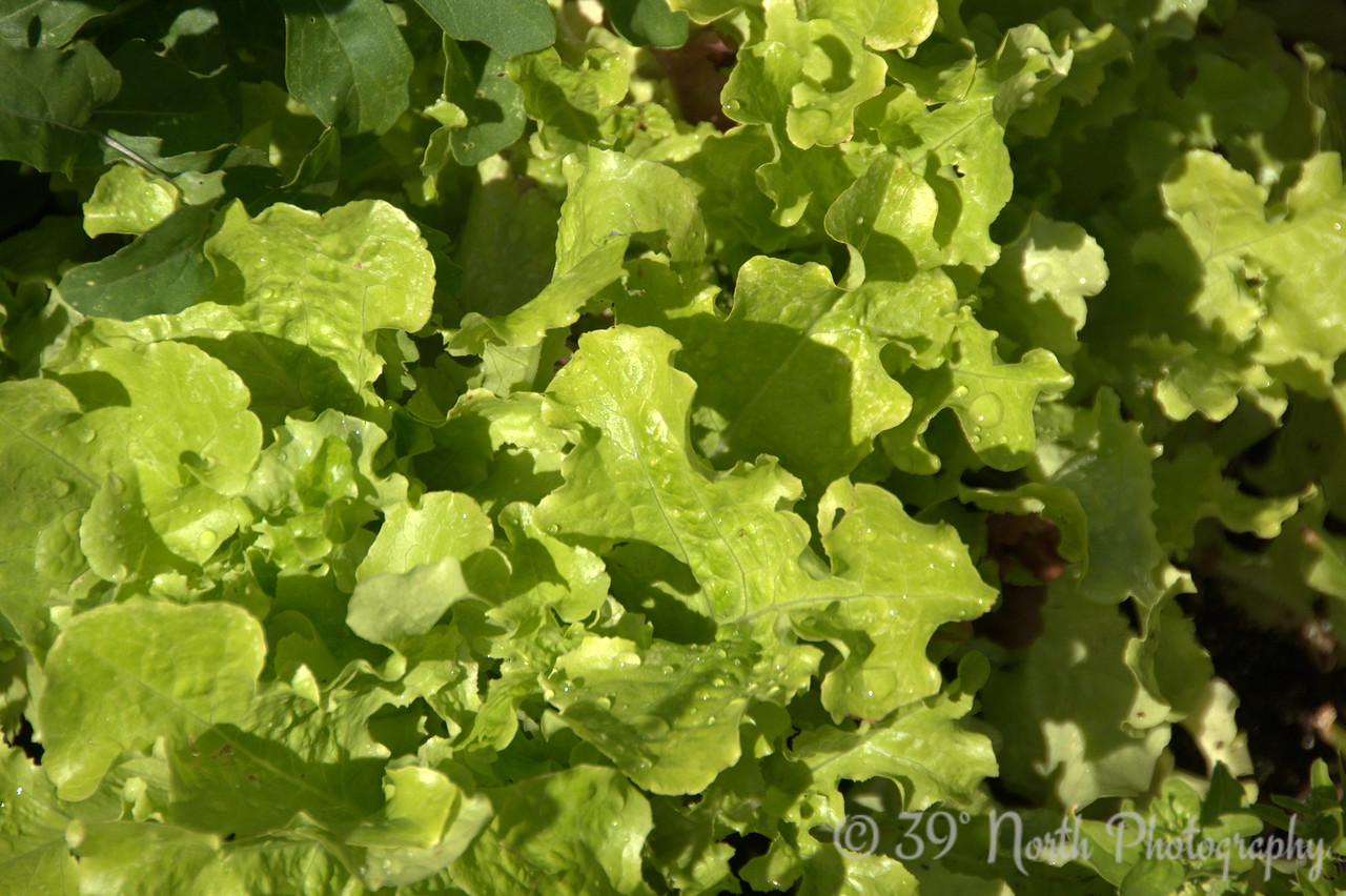 The lettuce is still going strong.