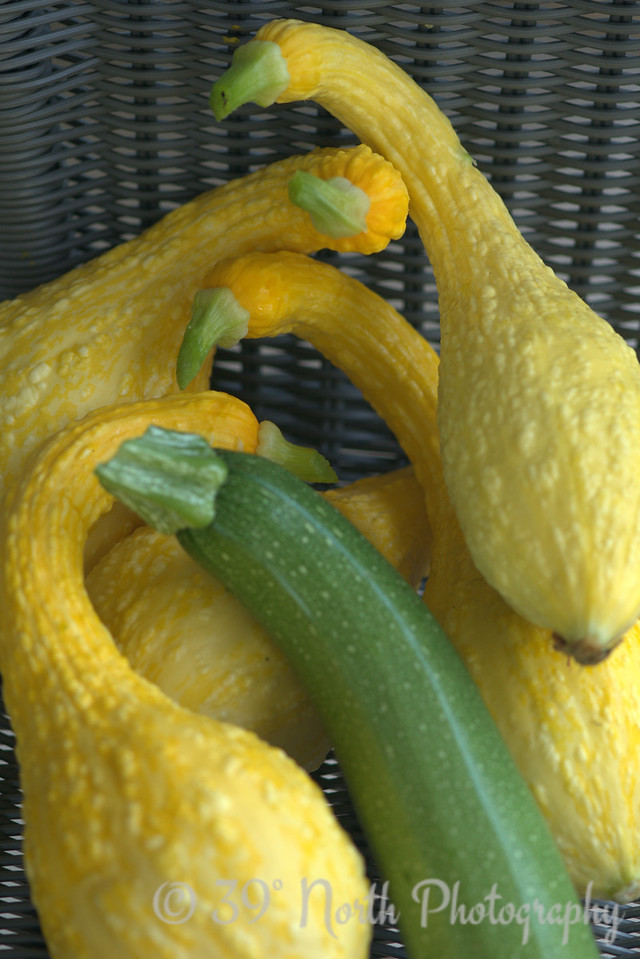 The crookneck squash plant is finally starting to hit its stride.