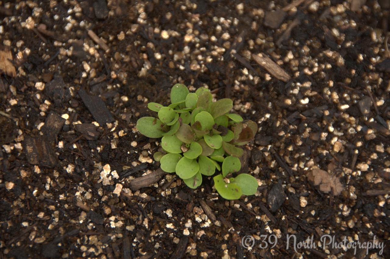 Leaf Lettuce - Salad Bowl Blend @ day 16.