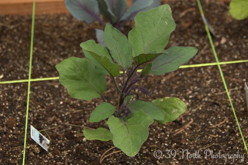 Ichiban Eggplant @ day 16.