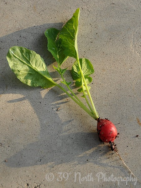 The first radish.
