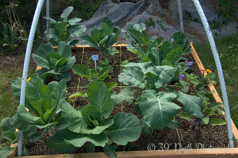 Broccoli, cauliflower, cabbage, eggplant @ day 30