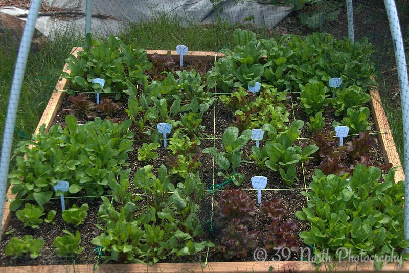 Salad garden @ day 30