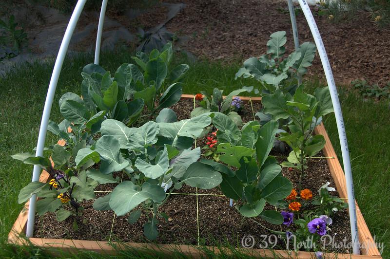 More broccoli, cauliflower, cabbage, eggplant @ day 30