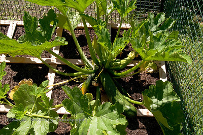 The zuchinni is planted in the center of a 3 x 3 foot grid.