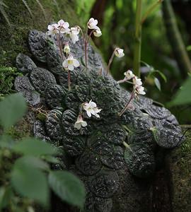 A kind of African violets?