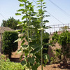Sunflowers July 2005