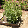 July 2, 2005 - Doesn't look like it here but we had a lot of tomatoes from this plant.