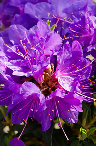 Rhododendron 'Vibrant Violet'