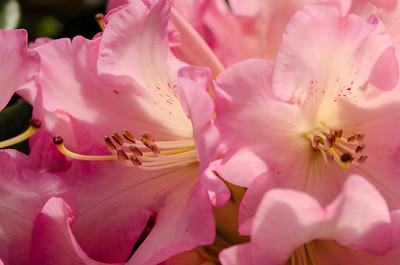 Rhododendron 'Bruce Brechtbill