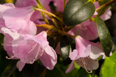 Rhododendron 'Pioneer Silvery Pink'