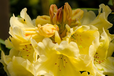 Rhododendron 'Mindy's Love'