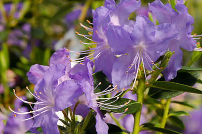 Rhododendron 'Crater Lake'