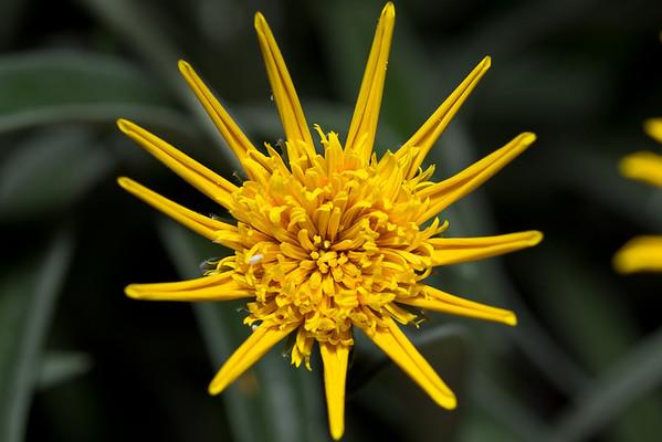 A flower of the sun, but not a sunflower.