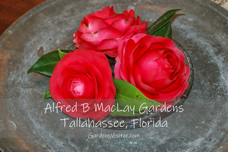 Three camellias on a pewter plate at MacLay Gardens. Click to start slideshow.