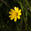 California Buttercup