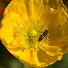 Spring Poppy Visit