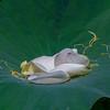 BLS5505 Lotus Petals