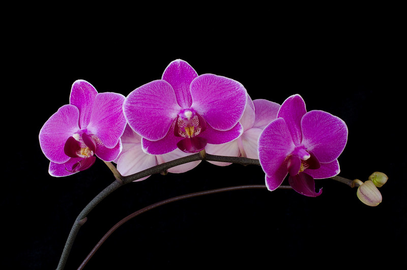 pinkorchid1