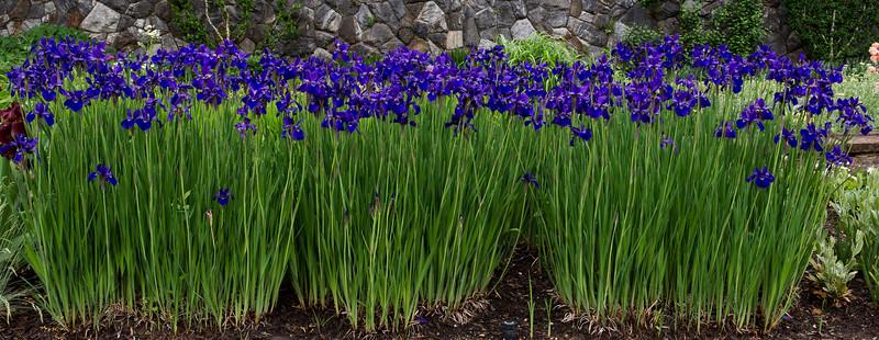 Biltmore Iris