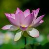 BLS5396Pink Lotus Blossom