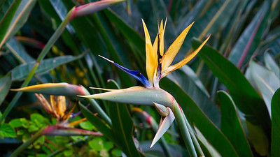 Mandela s Gold Bird of Paradise, Kirstenbosch National Botanical Garden