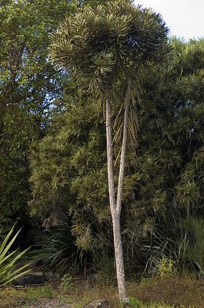 Toothed Lancewood - NZ native Botanic Gardens Manurewa Auckland New Zealand - 21 May 2006