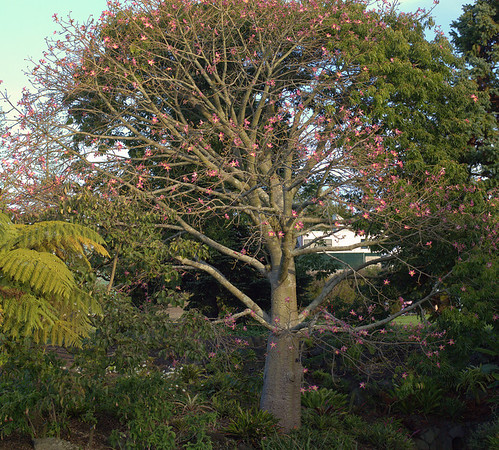 Silk Floss tree - Brazil, Argentina Botanic Gardens Manurewa Auckland New Zealand - 21 May 2006