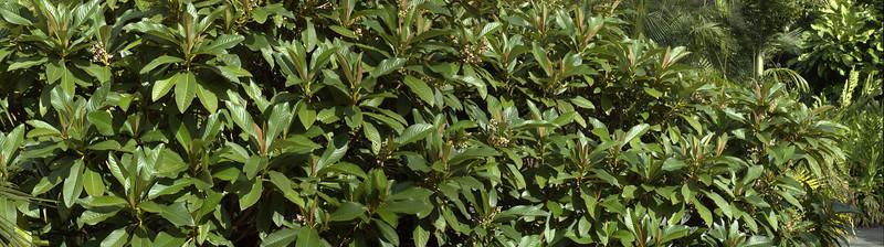 Saurduia subspinosa - Upper Burma Botanic Gardens Manurewa Auckland New Zealand - 21 May 2006
