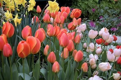 Tulips and daffodils Cool house, Wintergardens Auckland Domain Auckland New Zealand - 19 Aug 2006
