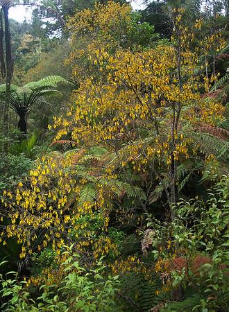 Kōwhai - Sophora microphylla Kōwhai is māori for yellow Cascade Kauri park Waitakere Ranges - Te Waonui a Tiriwa New Zealand - 1 Oct 2006