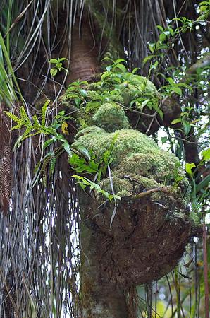 Symbiosis Cascade Kauri park Waitakere Ranges - Te Waonui a Tiriwa New Zealand - 1 Oct 2006