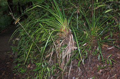 Kiekie - Freycinetia banksii  Cascade Kauri park Waitakere Ranges - Te Waonui a Tiriwa New Zealand - 1 Oct 2006