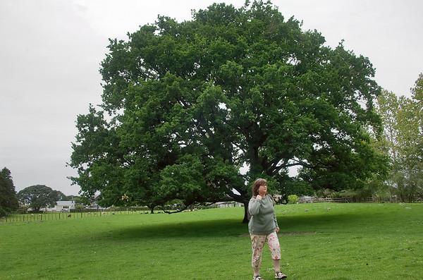 Oak tree Cornwall Park Auckland New Zealand - 22 Oct 2006